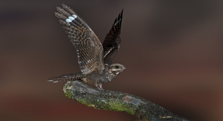 Nightjar perching on a log with wings open by David Tipling/2020VISION