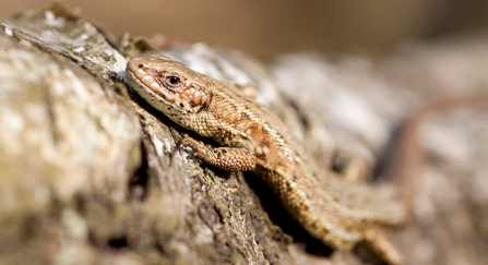 Common lizard basking on a tree trunk by Tom Marshall