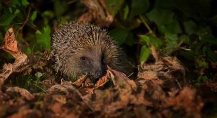 Hedgehog by Jon Hawkins SurreyHillsPhotography