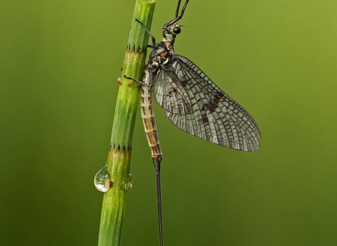 Mayfly on a horsetail stem by Jon Hawkins Surrey Hills Photography